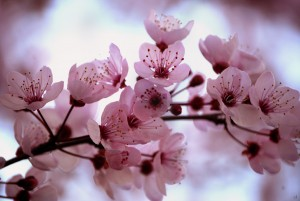 Cherry Blossom: More than just a pretty flower