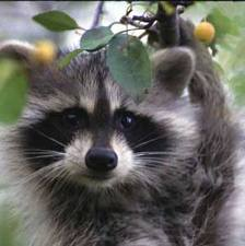 Raccoon Eye